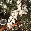 #24 シマトネリコ 雪