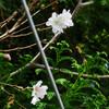 今日の花たち -桜とツツジ- 10/31