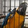 愛しのルリコンゴウインコの J J 君に逢いに富士花鳥園へ行きました!