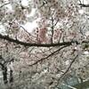 天満橋でお花見散歩【天満橋】