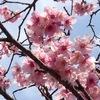 寒緋桜? 早咲きの濃いピンク色の桜が咲き始めました。