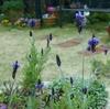 ミモザ・ガーデンの日記 ラベンダーとネコ