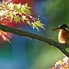 紅葉の週末風景[モミジ][イチョウ][カイツブリ][トンボ][カワセミ]