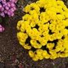 スワッグとレイをつくるために庭にシロタエギクを植えたほうがいい