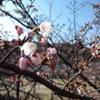 Apr. 2, 2017 須磨の桜