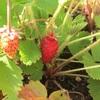 #18 四季なりイチゴ 細長い果実