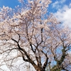 今年も会社の横の綺麗な桜、見た!