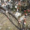 今年も岡本梅林公園で梅を見てきたぜ!!【兵庫県神戸市東灘区】(2017年2月15日)