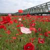 【お花見19】 荒川下流のポピー【サイクリングコース7】水元公園 沿い