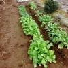 BSJ複合菌肥料栽培 全体(かぶ・ほうれん草・大根)2015年