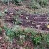 下のフキ畑