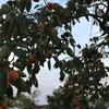 柿とニットとベルトと私~秋を楽しんでいます♪