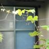 もう四年待てと葡萄の葉の戦ぐ(あ)