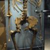 人類の進化:ホモ属各種 ③ホモ・エルガステル