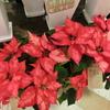 クリスマスの準備をはじめよう!【ポインセチア】はサンタさんの目印!