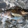 小樽・南防波堤へ何の気なしに釣りに出て、アブラコを狙うもイソメをごっそり奪われる