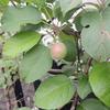 2012/06/02 リンゴが結実しているのを見つけた!