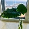 暖かいリビング〜クワズイモが次々と葉っぱをつけます〜