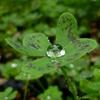 オキザリスの水滴
