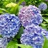 摘果開始&苔玉にお花&京の紫陽花両横綱♪
