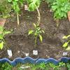 【家庭菜園】ジャンボピーマンを植えました。