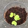 ペットボトル家庭菜園!種まきから17日目の変化