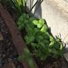 ガーデニングの醍醐味の1つ。食べれる植物を植える