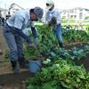 <農業講座日記>初収穫は枝豆 カブの種まき、大根間引き(10月2日)