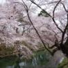 弘前公園・満開直前の桜 青森県弘前市下白銀町