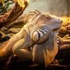 アメリカ:世界一便秘なトカゲ