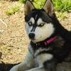 アラスカン・クリー・カイと紀州犬