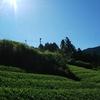 夏の茶畑の光景①