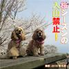 2020年【紫雲出山】桜シーズンの入山禁止!