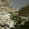 恩田川に咲く桜