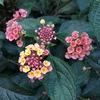 中国伝説に因んだ花