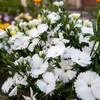 白い花の名は