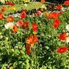 Toowoombaのお花祭りと補助輪なし、手足口病の後遺症