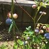 誕生祝いに記念樹を!庭にブルーベリーを植えてみた