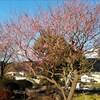 【散歩】梅やツツジが狂い咲き。そしてコロナ急増の原因。