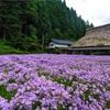 京都・久多 - 再訪 久多の北山友禅菊