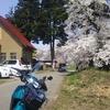 根雪の中で咲く桜2