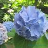 我が家の6月の花『紫陽花2種』と花言葉と、結婚式での紫陽花の使い方