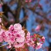 東京の八重桜もそろそろ満開