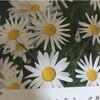 長く楽しめる花マーガレット