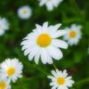 夏日の日差し避けながら 路地で見つけた白き花びら