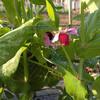 絹莢えんどうの開花