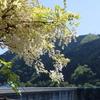 自然を巡る(月瀬の大杉、押川大滝、奥矢作湖)