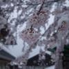 雪の降る高尾山へ桜を観に