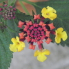 リシマキアリッシーもまだ咲いてる。