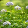 「Zeiss Milvus 2/135 ZF.2」で神戸市立森林植物園の紫陽花を撮影してきた話。